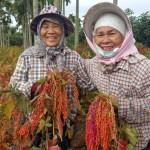 1.平和村倆親姊妹採紅藜
