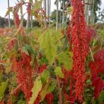2.待採的成熟紅藜
