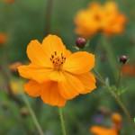 藝賞花卉8-3 攝影 蔡愛香
