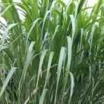 13-11.Cinavu非食材葦葉(包食材外層)