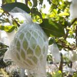 7-1.初果至熟果套封袋,隔絕蟲害。有線上網購今日採收。