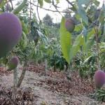 8-4.家旁山坡地的芒果園