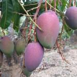 5-1玉文芒果,經疏果每分枝留2、3粒,可倍長果實。