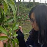 3-1屏東縣府農業處植物病蟲研究人員觀察愛文芒果生長情形