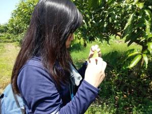 ◆原從事研發而轉無毒有機領域實務的植物醫生吳秉芳,在「小米園蔬果園」之愛文芒果細微觀察葉菌。