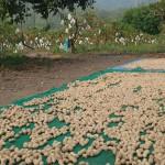 9-7.媽媽曬收成的落花生,其他的都被網購了。