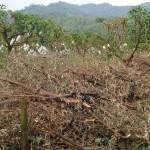 9-8.媽媽將已收成的樹豆樹斬斷,賣了好價錢。