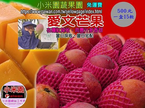 ★小米園蔬果園已開始採收愛文芒果。