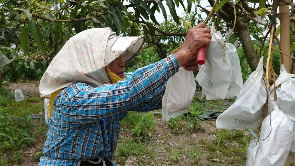 ◆小米園蔬果園採愛文-我的媽媽賴高玉梅師母