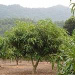 5-5小米蔬果園主要作物-愛文芒果新葉長期中
