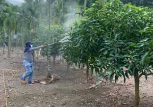 ◆與岳父賴約翰在小米園蔬果園噴藥愛文芒果,岳父噴藥中。攝影:白洛威(白天生)202012/25