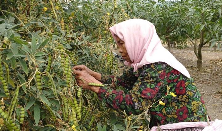 依樹豆的成熟度逐日採收