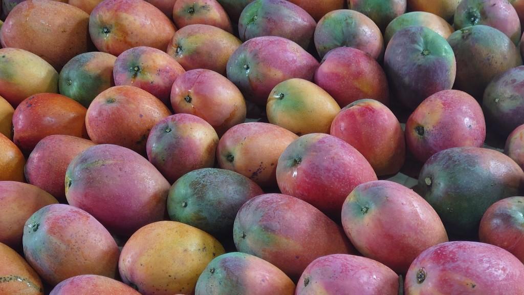 5-5.去年我家愛文芒果好吃好甜但色澤不亮麗 小米園蔬果園資料照 2020-6-04