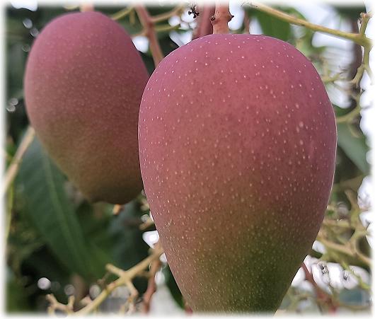 ◆小米園蔬果園愛文芒果 ,約五月中旬後採收。攝影/賴約翰 2021/4/15