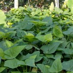 2小米園蔬果-地瓜葉